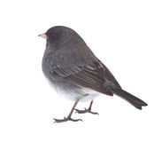 Isolated Junco Stock Images