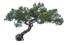 Isolated juniper tree. Exotic juniper tree on white background stock image