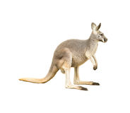 Isolated kangaroo. An isolated kangaroo on white background Stock Image