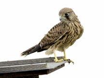 Isolated kestrel bird. Isolated common kestrel bird on white background Stock Photos