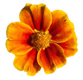 Isolated khaki weed (tagetes) flower Royalty Free Stock Images