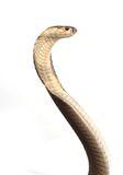 Isolated king cobra Stock Image