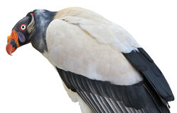Isolated King vulture Royalty Free Stock Photography