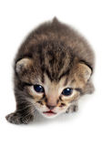 Isolated Kitten Royalty Free Stock Photography