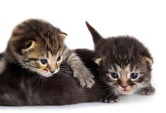 Isolated Kitten Royalty Free Stock Photo