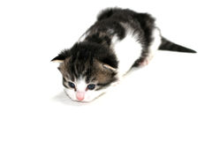 Isolated kitten macro Royalty Free Stock Photos