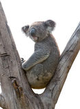 Isolated Koala. An isolated koala on white background royalty free stock photo