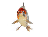 Isolated koi fish Stock Images