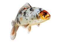 Isolated koi fish