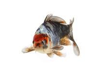 Isolated koi fish. Large image of classic japanese carp stock image