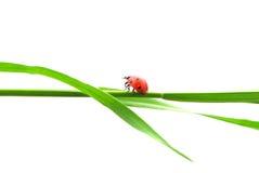 Isolated ladybug Royalty Free Stock Photos