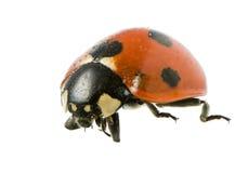 Isolated Ladybug Stock Photography