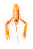 Isolated langoustine Royalty Free Stock Photo