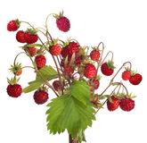 Isolated large bunch of red wild strawberries Royalty Free Stock Photo