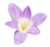 Isolated large lilac crocus bloom Stock Images