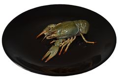 Isolated large live gray crayfish on a glossy black plate. Fresh uncooked raw crayfish ready for cooking royalty free stock images