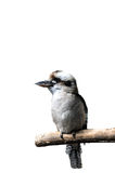 Isolated laughing kookabura sitting on a branch royalty free stock image