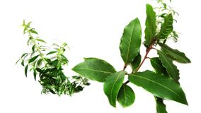 Isolated Laurel plant royalty free stock images