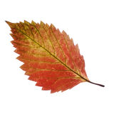 Isolated leaf Stock Photography