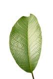 Isolated leaf. Stock Photo