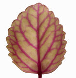 Isolated leaf Royalty Free Stock Photos