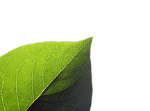 Isolated leaf Stock Image