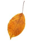 Isolated leaf autumn season Royalty Free Stock Photography