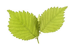 Isolated leaf Stock Photos