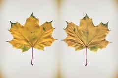 isolated leaf maple Διάνυσμα που επισημαίνει την υψηλή ακρίβεια Στοκ φωτογραφίες με δικαίωμα ελεύθερης χρήσης