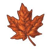 isolated leaf maple Διανυσματική εκλεκτής ποιότητας χαραγμένη χρώμα απεικόνιση Στοκ εικόνες με δικαίωμα ελεύθερης χρήσης