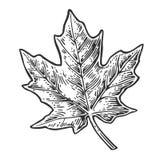 isolated leaf maple Διανυσματική χαραγμένη τρύγος απεικόνιση Στοκ φωτογραφίες με δικαίωμα ελεύθερης χρήσης