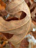 isolated leaf maple Στοκ εικόνες με δικαίωμα ελεύθερης χρήσης