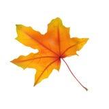 isolated leaf maple Στοκ φωτογραφίες με δικαίωμα ελεύθερης χρήσης