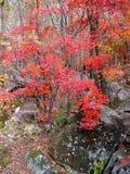 isolated leaf maple Στοκ Φωτογραφία