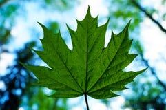 isolated leaf maple Στοκ Φωτογραφίες