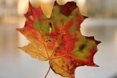 isolated leaf maple Στοκ Εικόνα