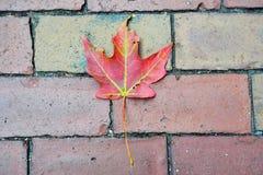isolated leaf maple Στοκ Εικόνες