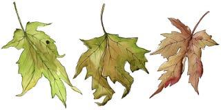 isolated leaf maple Floral φύλλωμα βοτανικών κήπων φυτών φύλλων Στοκ εικόνες με δικαίωμα ελεύθερης χρήσης