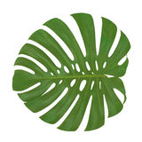Isolated leaf Monstera plant white background. Exotic tropical palm tree Stock Images