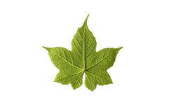 Isolated leaf on a white background. Green royalty free stock photography