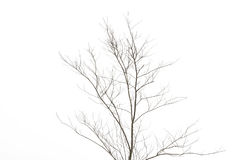 Isolated leafless tree branches. On white background Royalty Free Stock Images
