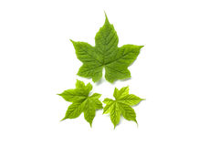 Isolated leafs on a white background. Green royalty free stock images