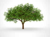 ISOLATED LEAFY TREE Stock Image