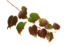 Isolated leaves. Branch of colorful leaves on white background Royalty Free Stock Photography