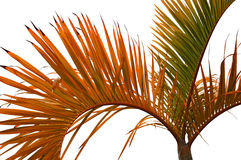 Isolated leaves of palm tree Stock Photo
