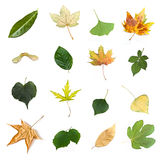 Isolated leaves of  various trees. On white background Royalty Free Stock Photography