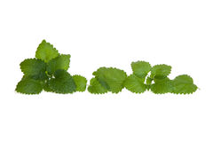 Isolated lemon balm leaves in a line Royalty Free Stock Images