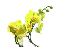 Isolated lemon orchids Stock Photo