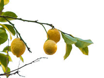 Isolated lemon tree Royalty Free Stock Images