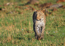 Isolated Leopard walking towards camera with empty space Stock Images
